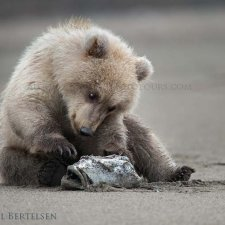 Brown Bear Images - photo 2