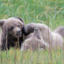 Brown Bear Images - photo 3