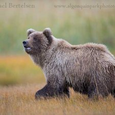 Brown Bear Images - photo 7