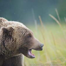 Brown Bear Images - photo 8