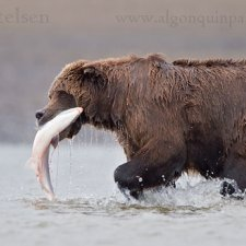 Brown Bear Images - photo 9