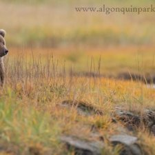 Brown Bear Images - photo 10