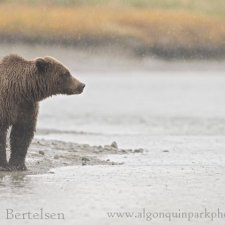 Brown Bear Images - photo 14