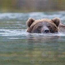 Brown Bear Images - photo 11