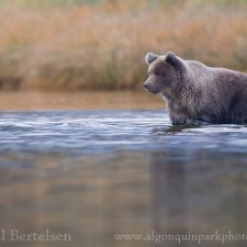Brown Bear Images - photo 13