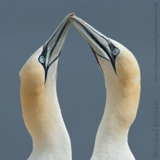 Gannets of Gaspe - photo 0