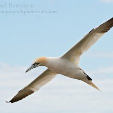 Gannets of Gaspe - photo 1