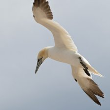 Gannets of Gaspe - photo 2