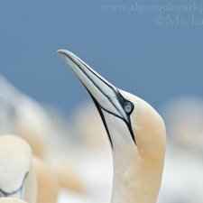Gannets of Gaspe - photo 5