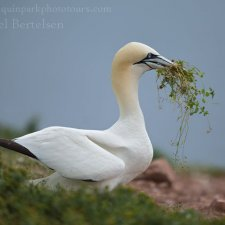 Gannets of Gaspe - photo 6